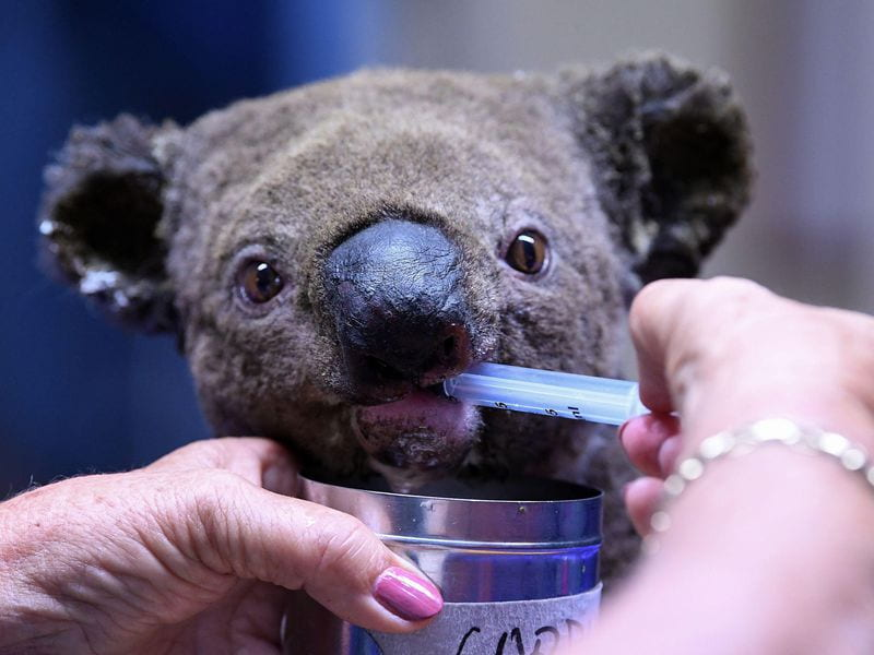 Bush fires in Australia have drastically decreased the countrys koala population Photo provided by Smithsonian Magazine.
